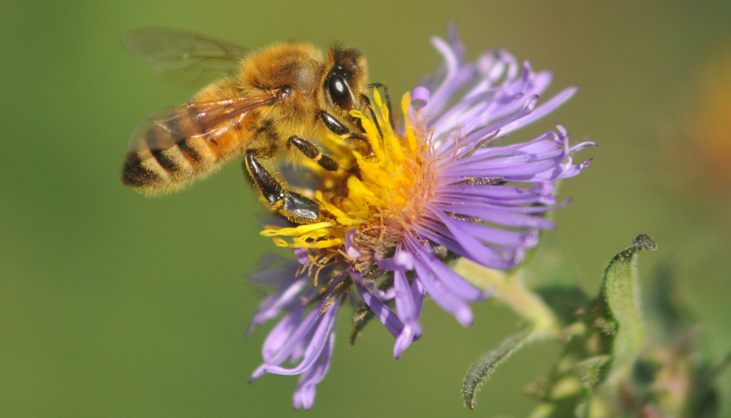 Bee on purple flower (Liem) - Biodiversity Page Main Photo