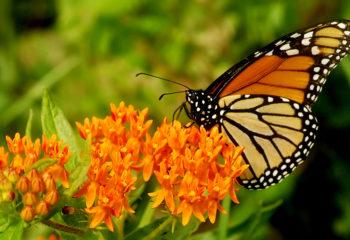 Monarch on Milkweed - Title Background Biodiversity Program (Liem)