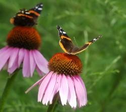 North Pond Coneflowe.Butterflies - Upper Section 2 of 2 (Jeff Liem)