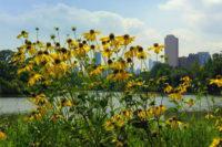 cornflowers2